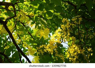 corper view, Cassia fistula bouquet and green leaves on tree background,morning sun splash on Cassia fistula tree
