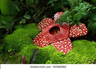 Corpse flower was made of interlocking plastic bricks toy. Scientific name is Rafflesia kerrii, Rafflesia arnoldii, Stinking corpse flower. The largest flower in the world.