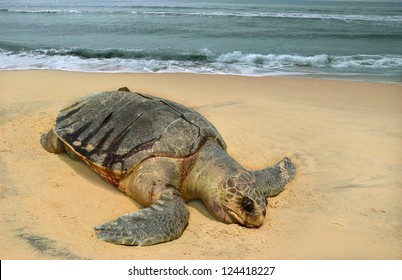 Corpse of the sea turtle Olive ridley Lepidochelys olivacea on beach of the town Sompeta, Andhra Pradesh, India. This species is included in the IUCN Red List