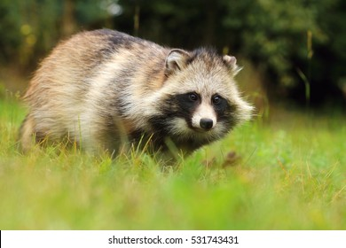 Corpulent raccoon dog