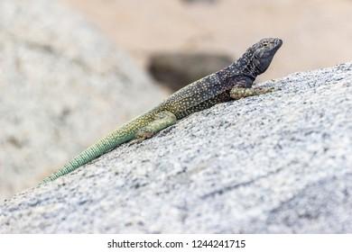 """""""Corredor de Atacama"""" (Microlophus Atacamensis) in the amazing Desierto de Atacama (Atacama Desert), impressive fauna living in the driest desert environment in the world, Chile"""