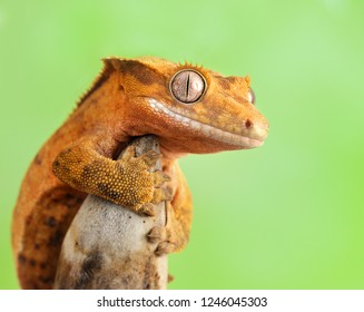 Correlophus ciliatus( crested gecko) is a species of gecko native to southern New Caledonia.