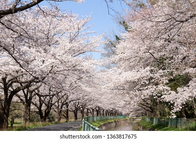It is a corridor of cherry blossoms in Minuma rice field of Saitama City. The long-lasting tree-lined Somei Yoshino tree is in full bloom and has beautiful flowers.