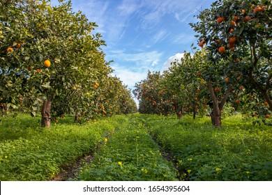 Corridor of Sicilian Orange Trees