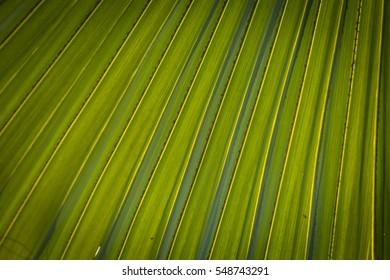 Corrugations (closeup of palm leaf)
