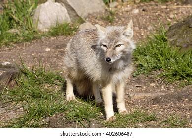 Corsac fox, Vulpes corsac is shrewd fox