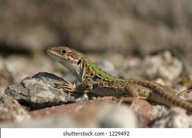 Corse / Lizard