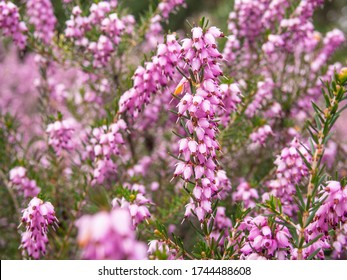 Corsican heath (Erica terminalis) is a species of flowering plant in the family Ericaceae, native to southern Europe and northern Africa, and naturalised elsewhere.