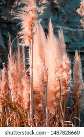 Cortaderia selloana commonly known as Pampas Grass. Ears of dry grass are tinted in warm autumn colors. Blue sky. Sunny day. Fall natural concept. Selective focus. Copy space.