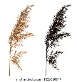 Cortaderia Selloana known as Pampas grass. Family: Poaceae . Dried flower isolated on white background with black alpha mask. Side view. Close up.