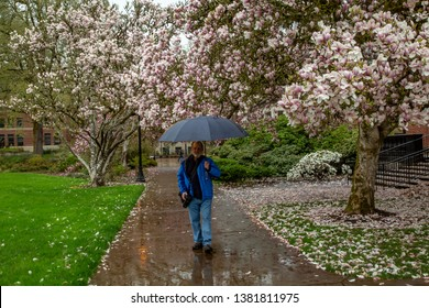 Corvallis, Oregon - 4/6/2019:  A man walking in the rain among Tulip trees in blossom in front of the Memorial Union (student union) on the Oregon State University Campus