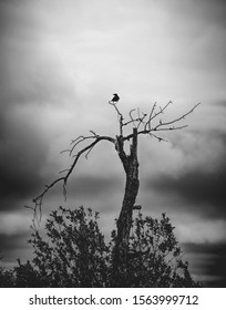 Corvid on a dead tree, looking awfully ominous