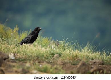 Corvus corax. The wild nature of Bulgaria.