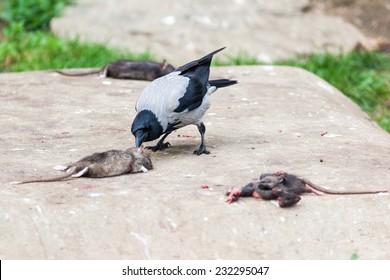 Corvus cornix, Hooded Crow is in the nature.