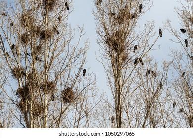 Corvus frugilegus. Rooks nesting colony.
