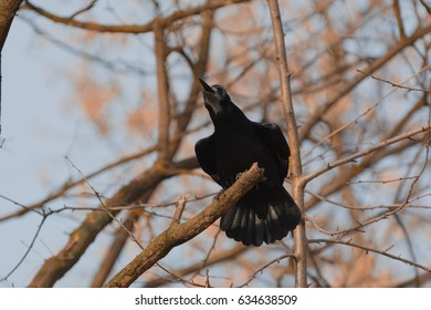 Corvus is a widely distributed genus of medium-sized to large birds in the family Corvidae. The genus includes species commonly known as crows, ravens, rooks and jackdaws