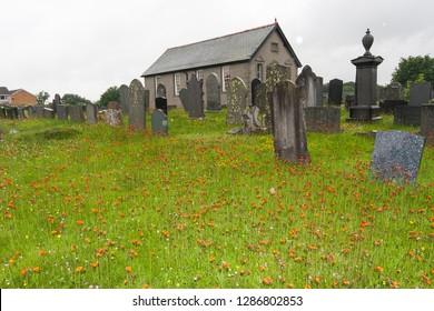 Corwen/Wales - 07.12.2016.: Thousands of orange wildflowers in a cemetery in Wales: Pilosella (Hieracium) aurantiaca (fox-and-cubs, orange hawk bit, devil's paintbrush, grim-the-collier)