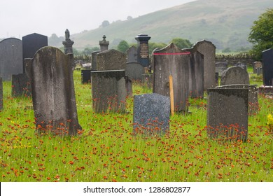 Corwen/Wales - 07.12.2016.: Thousands of orange wildflowers in a cemetery in Wales: Pilosella (Hieracium) aurantiaca (fox-and-cubs, orange hawk bit, devil's paintbrush, grim-the-collier)