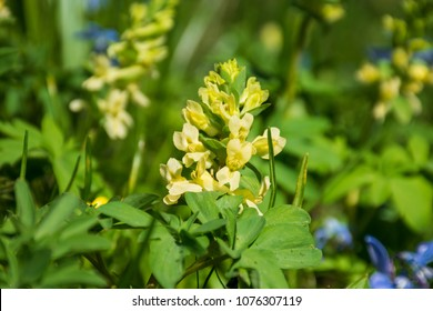 Corydalis bracteata blooms amongst the grass in the spring forest.