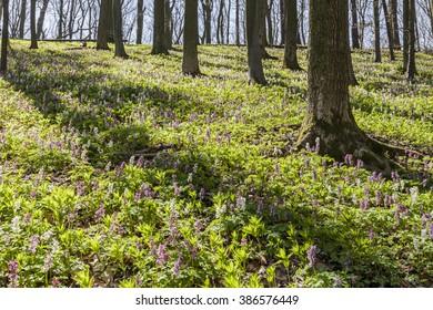 Corydalis flowers (Corydalis cava) on the Freeden mountain in Lower Saxony, Germany