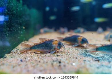 Corydoras eques a beautiful catfish from Amazon river