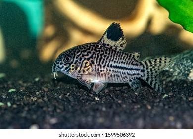 Corydoras julii a small fish in the aquarium