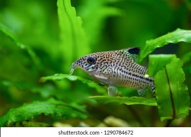 Corydoras paleatus. Pepper Cory Corydoras paleatus catfish. Fish Corydoras mottled, speckled Catfish sitting on the leaf of plants in the aquarium