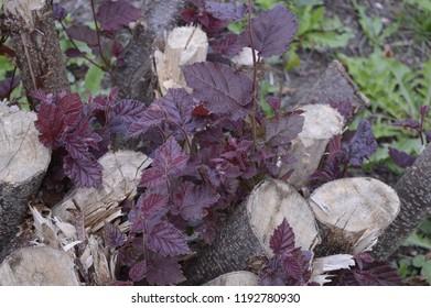 Corylus maxima - ornamental hazel with red leaves