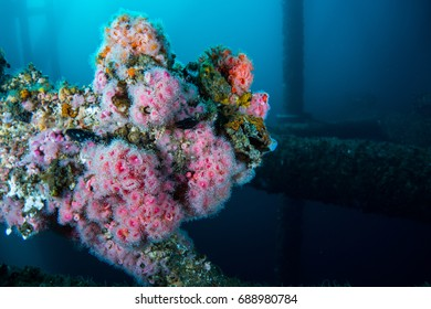 Corynactis growing on underwater structure