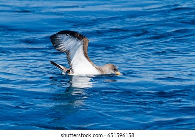 cory's shearwaters pelagic bird living alive lives all the way to sea viareggio italia
