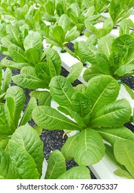 Cos hydroponics vegetables grow on perlite media and fertilizer mixed solution ducts.
