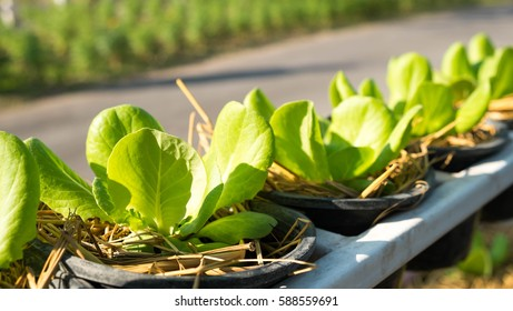 cos lettuce or lettuce in the garden, Organic food