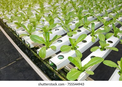 Cos lettuce in the hydroponic farm and plant in the greenhouse