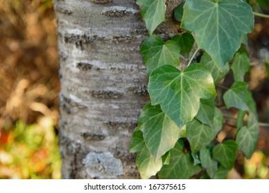 Cose up of Ivy Vine on tree