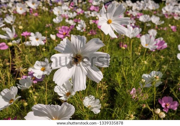 Cosmea Cosmos Lat Genus Annual Perennial Stock Photo Edit Now