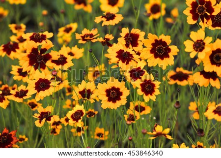 Cosmidium yellow flowers red center flowers stock photo edit now cosmidium yellow flowers with red center the flowers grow in a thick carpet on mightylinksfo