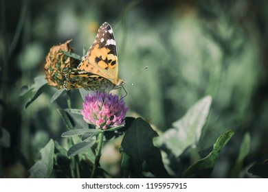 Cosmopolitan butterfly collects nectar (Vanessa cardui)