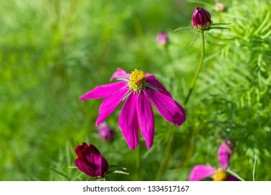 Cosmos bipinnatus, Annual cosmos, Mexican aster on green background.