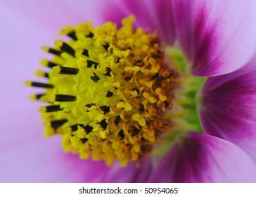 Cosmos Bipinnatus Centre (Asteraceae) - Macro