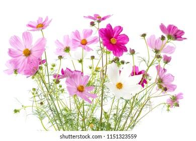 Cosmos bipinnatus flowers isolated on white