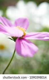 Cosmos bipinnatus - garden cosmos
