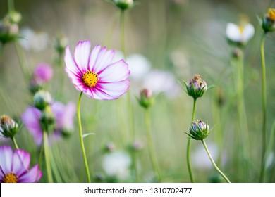 Cosmos bipinnatus in the garden