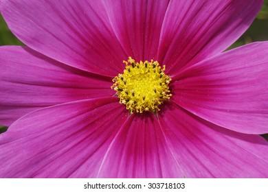 Cosmos bipinnatus, Garden Cosmos, Mexican Aster, decorative summer flower in Germany