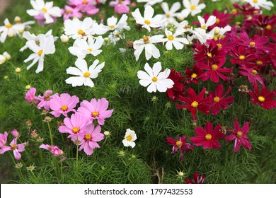 Cosmos (cosmos bipinnatus, mexican aster) flowers blooming in the garden. Pink, white and red garden cosmos flowers - Shutterstock ID 1797432553