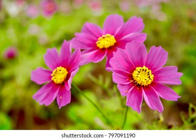 (Cosmos Bipinnatus; Cosmos Sulphureus) Cosmos; Gardens Cosmos; Mexican Aster soft focus