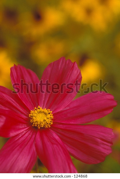 Cosmos and Black Eyed Susans in full bloom.