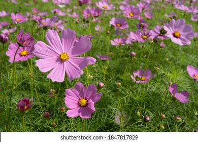 Cosmos blooming in autumn is very beautiful. - Shutterstock ID 1847817829