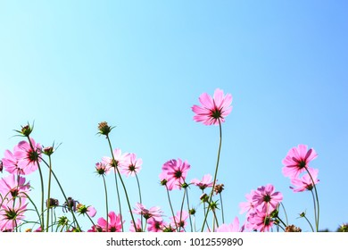 Cosmos blossom pink flower in a beautiful day
