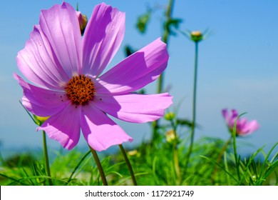 Cosmos blowing in the wind in the KwaZulu-Natal Midlands, South Africa