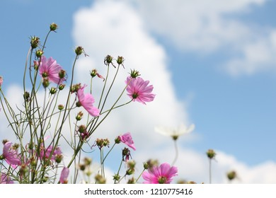 Cosmos with clear sky.